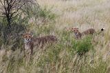 Tierschutz: Fotostrecke: Gefährdete Geparden - Bild 9