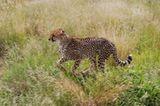 Tierschutz: Fotostrecke: Gefährdete Geparden - Bild 10