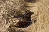 Tierschutz: Fotostrecke: Gefährdete Geparden - Bild 11