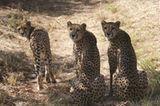 Tierschutz: Fotostrecke: Gefährdete Geparden - Bild 13