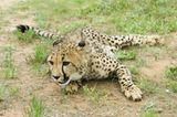 Tierschutz: Fotostrecke: Gefährdete Geparden - Bild 14