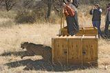 Tierschutz: Fotostrecke: Gefährdete Geparden - Bild 15