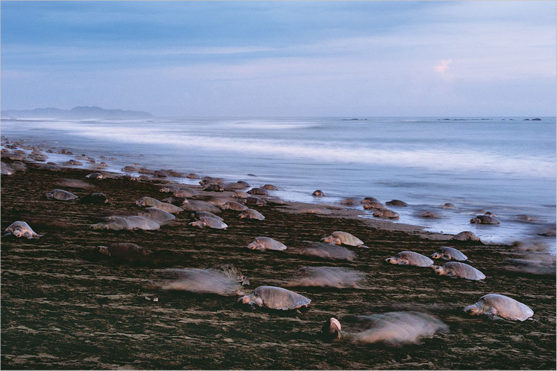 Oliv-Bastardschildkröten