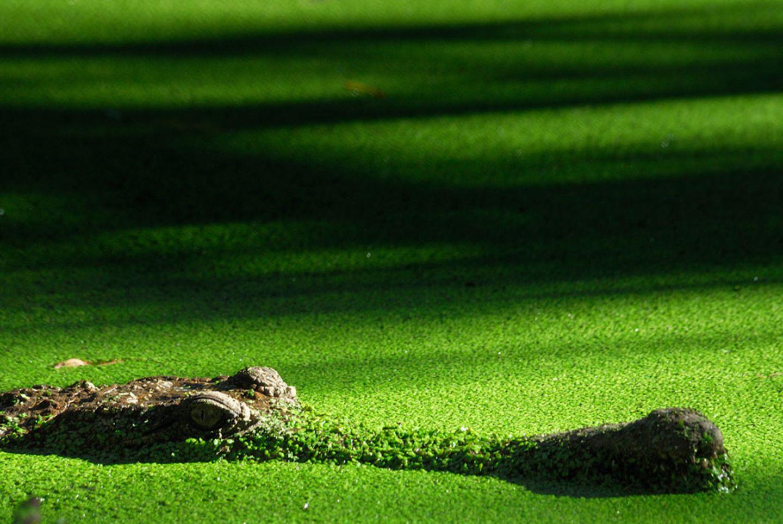 Grüne Grütze