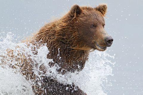 Fotogalerie: Küstenbären