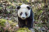 Tierschutz: Große Pandas: Der ungewöhnliche Weg zurück