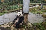 Tierschutz: Große Pandas: Der ungewöhnliche Weg zurück - Bild 2