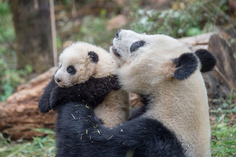 Tierschutz: Große Pandas: Der ungewöhnliche Weg zurück - Bild 5