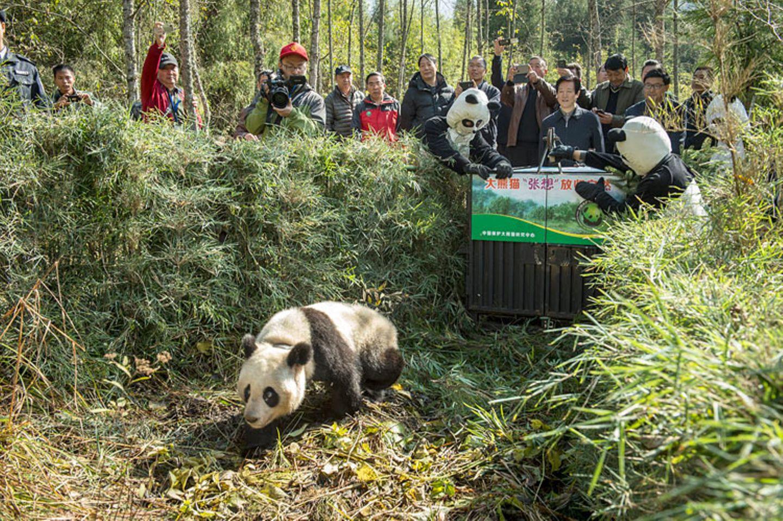 Tierschutz: Große Pandas: Der ungewöhnliche Weg zurück - Bild 6
