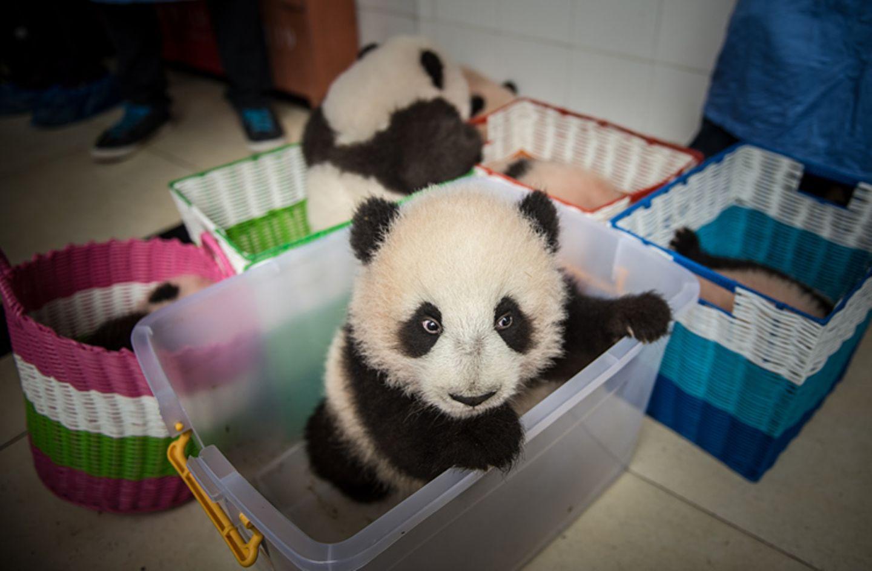 Tierschutz: Große Pandas: Der ungewöhnliche Weg zurück - Bild 7
