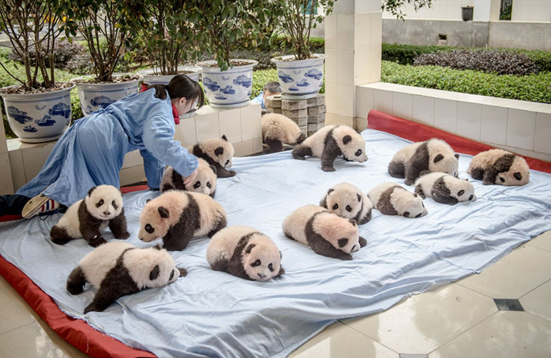 Tierschutz: Große Pandas: Der ungewöhnliche Weg zurück - Bild 8