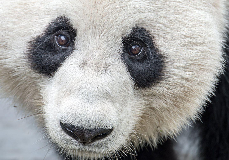 Tierschutz: Große Pandas: Der ungewöhnliche Weg zurück - Bild 9