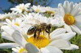 Pollensammlerin