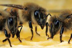 Arbeitsbienen auf ihrer Wabe