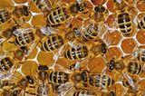 Mit Honig gefüllte Zellen