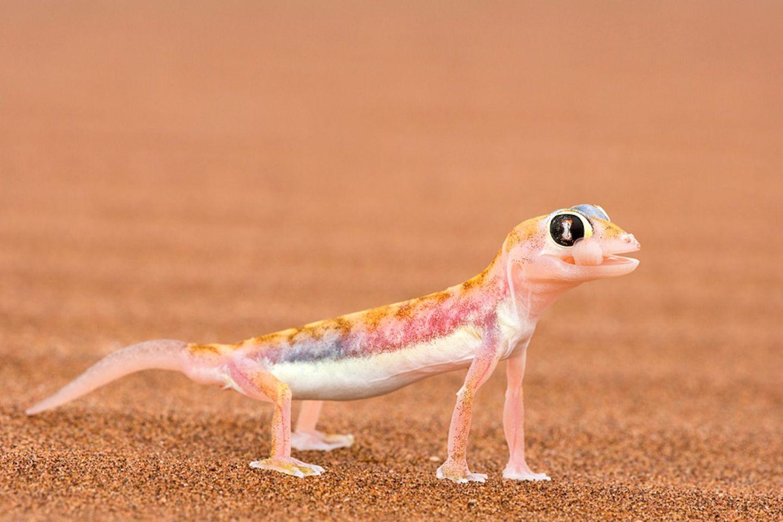 Sandgecko, Skeleton Coast Park, Namibia
