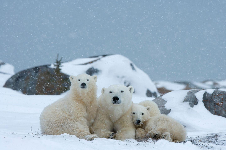 Eisbärfamilie, Wapusk National Park, Kanada