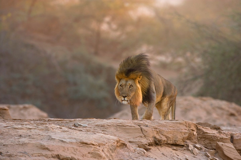 Wüstenlöwe, Skeleton Coast Park, Namibia