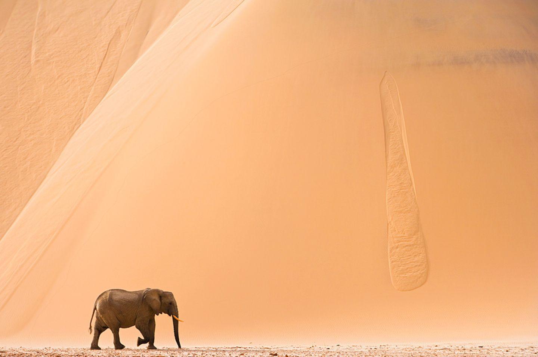 Wüstenelefant, Skeleon Coast Park, Namibia