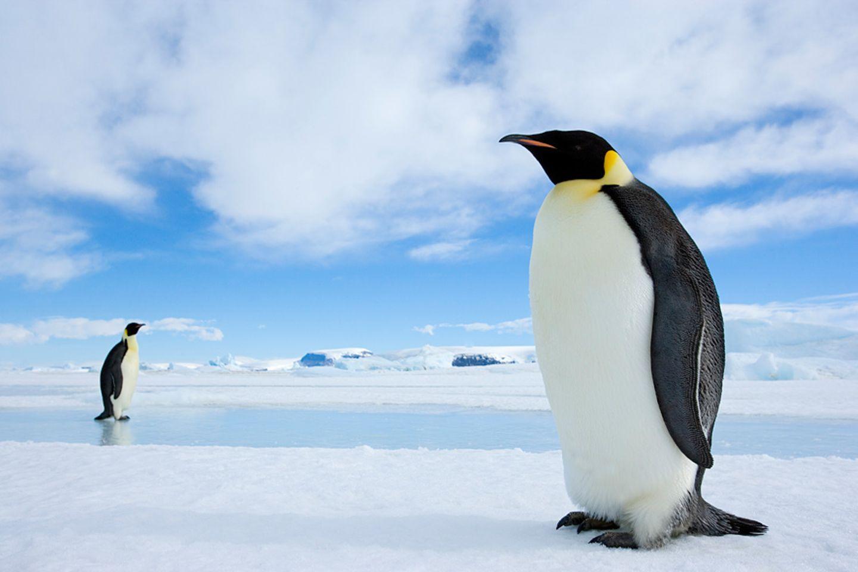 Kaiserpinguine, Weddellmeer, Antarktis
