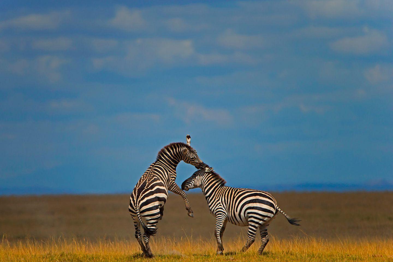 Steppenzebras, Ambosli National Park, Kenya