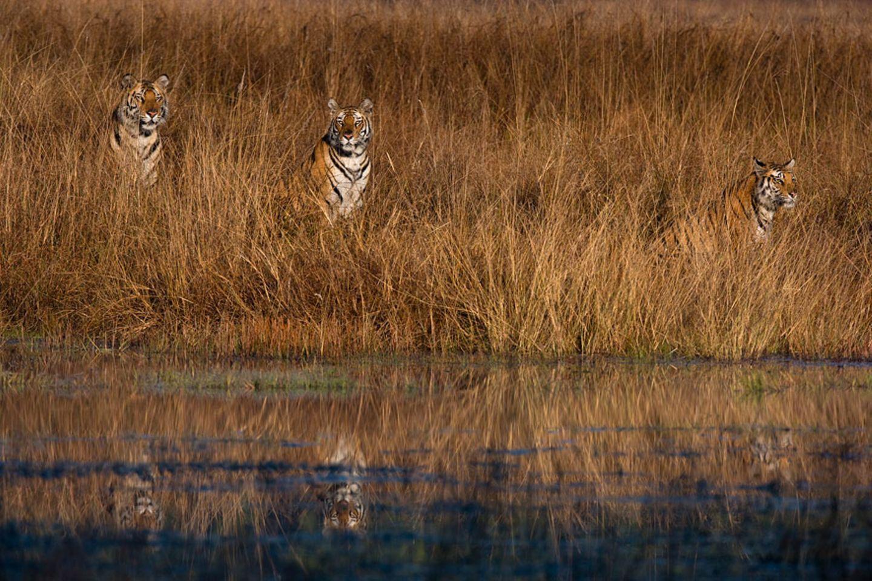 Indischer Tigerin mit Jungen, Bandhavgarh Tiger Reserve, Indien