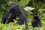 Berggorilla mit Jungen, Virunga National Park, Rhuanda