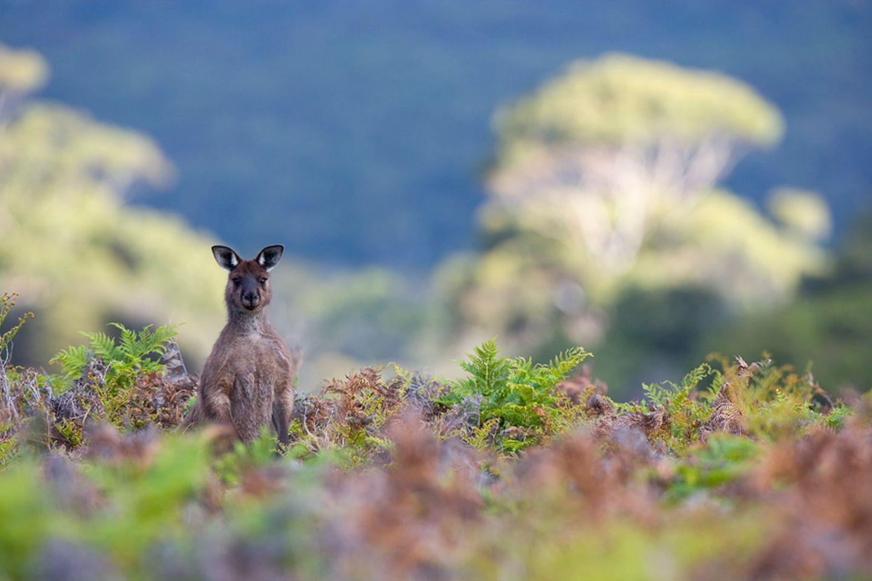 Westliches Graues Riesenkänguru, Kangaroo Island, Australien