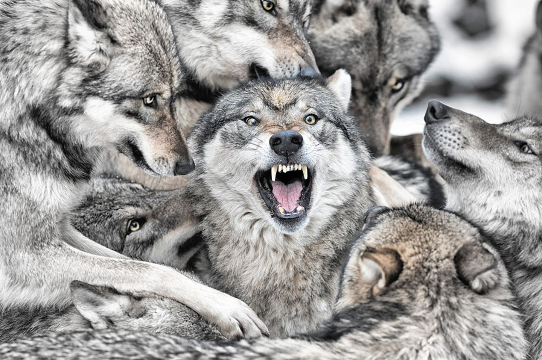 Genervter Alphawolf