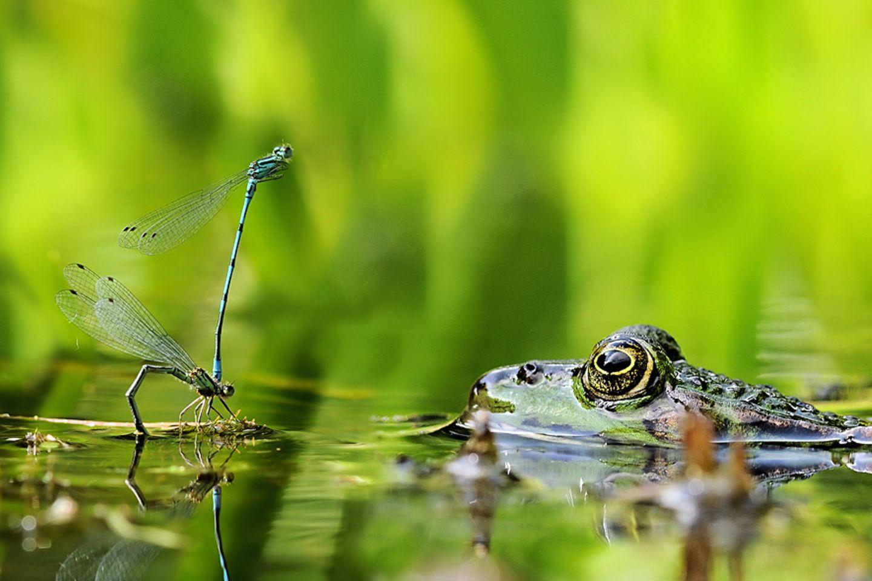 Libellen-Liebe macht blind