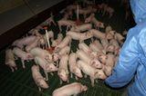 Tierschutz: Kinder für Schweine - Bild 4