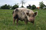 Tierschutz: Kinder für Schweine - Bild 7