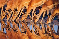 Impalas. Frans Lanting, USA 1991