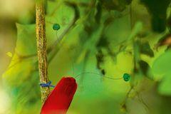 Paradiesvogel. Tim Laman, USA 2010