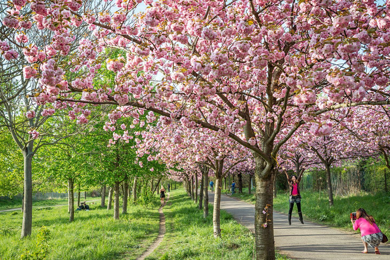2. Kirschbaumallee am Mauerweg, Pankow