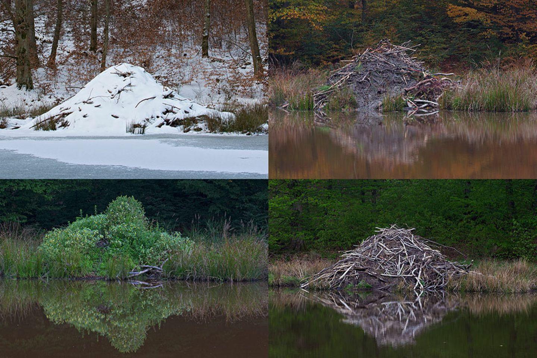 Biberburg im Wechsel der Jahreszeiten
