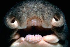 Stierkopfhai