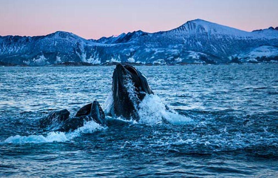 Wale vor Norwegen: Buckelwale nähern sich den Heringen mit großer Geschwindigkeit, tauchen unter den Schwarm und schießen nach oben
