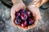 Früchte auf Pilion