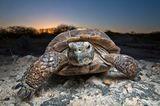 Schildkröten - stabile Rippen