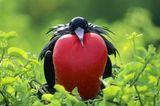 Fregattvögel - aufgeblasene Männchen