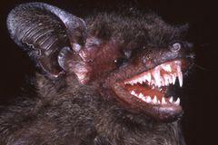 Hypsugo dolichodon