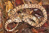 Lycodon zoosvictoriae