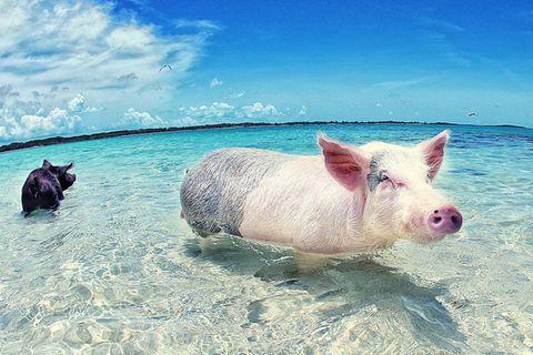 Bahamas: Die schwimmenden Schweine von Exuma