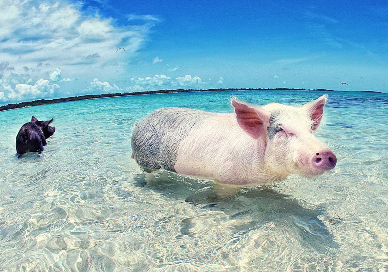 Aussteiger Schwein