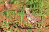 Steppenkiebitz (Vanellus gregarius)