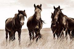 Sable Island Ponys