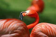 Rosa Flamingo: Eingefärbtes Gefieder