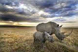 Zaire: Breitmaul-Nashorn