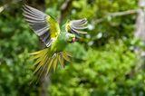 Mauritius: Mauritiussittich